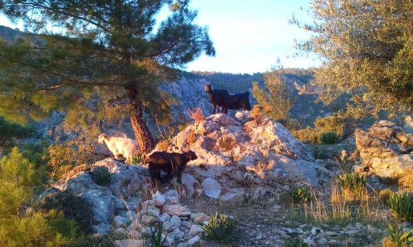 Goats are everywhere on the Lycian Way
