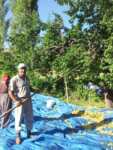 The family harvests apricots on their land