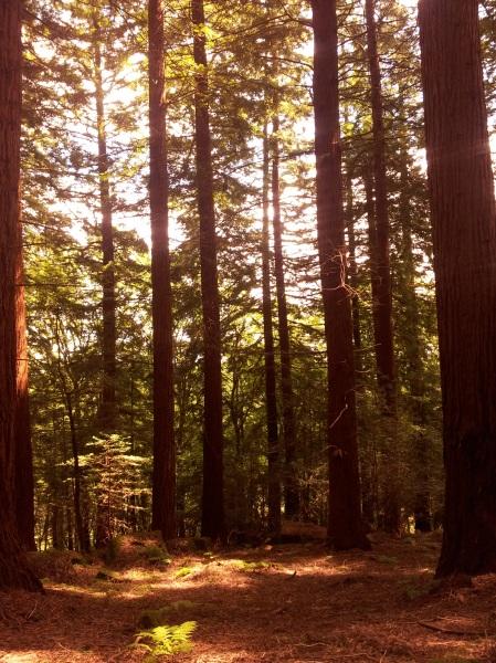 Redwoods in Llandogo, Wales