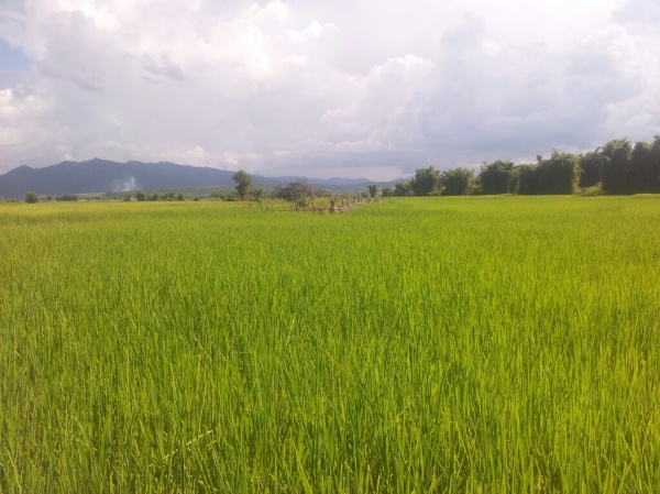 Working in the rice fields in Laos comes with huge risks