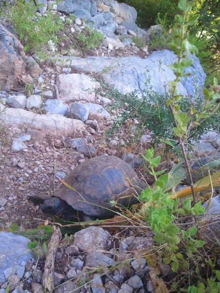 Tortoise! One of the many I will see on the trail