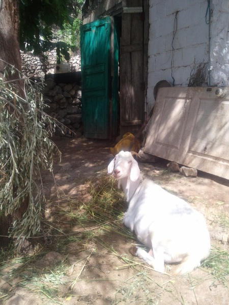 A goat who lives in Taşlıca